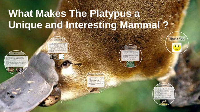 Reasons Why The Platypus Is A Unique and Interesting Mammal Essay